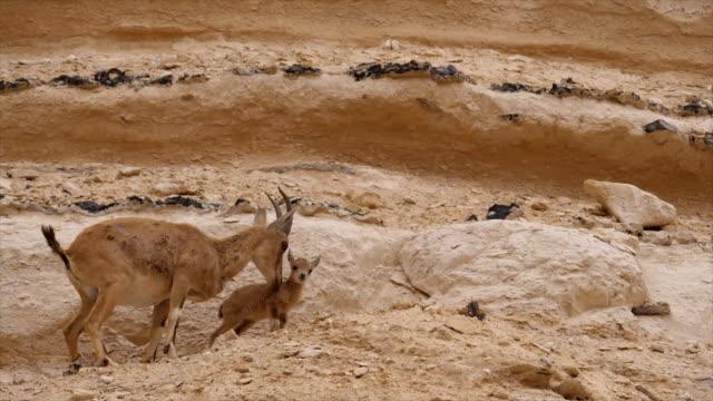 nubian ibex kid (capra nubiana) climbing on rocks, hanging on cliff edge / ein avdat, negev desert, israel - young animal stock videos & royalty-free footage