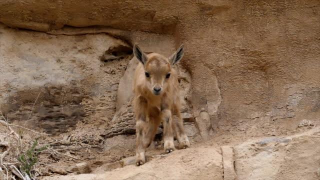 nubian ibex kid (capra nubiana) looking at camera-close up / ein avdat, negev desert, israel - israel stock videos & royalty-free footage