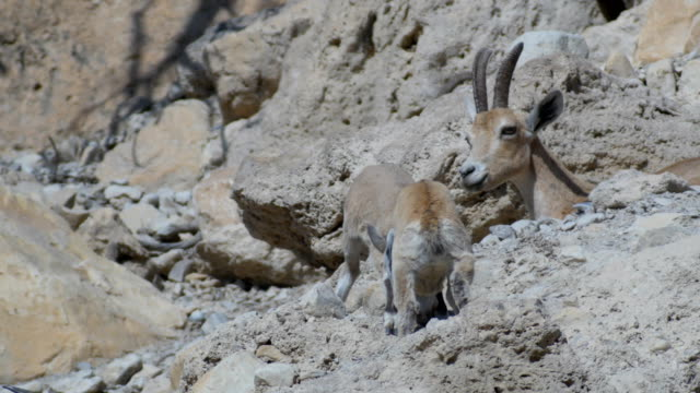 Nubian Ibex with Kids playing in the desert