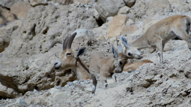 Nubian Ibex with Kids playing, Judean Desert , Israel