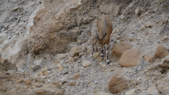 Nubian Ibex/female walking with Kids