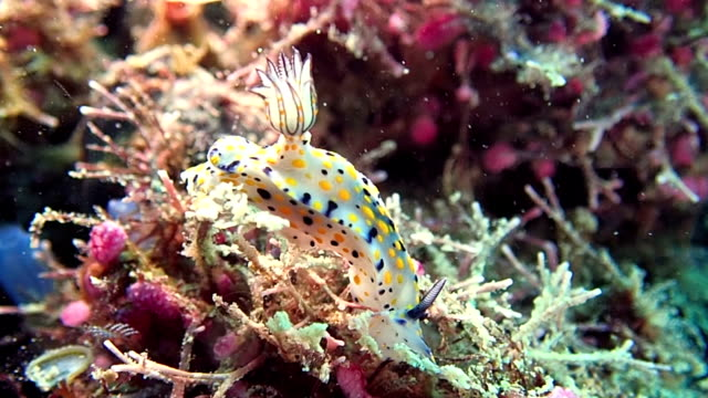 nudibranch - colorful sea slug - nudibranch stock videos & royalty-free footage