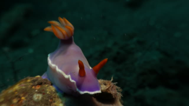 nudibranch in coral reef undersea, tulamben, bali, indonesia (4k) - invertebrate stock videos & royalty-free footage
