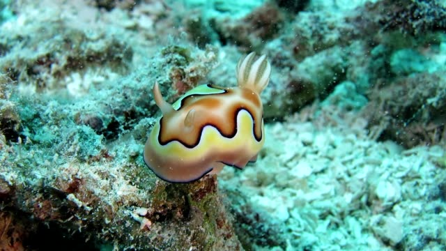 Nudibranch in Palau