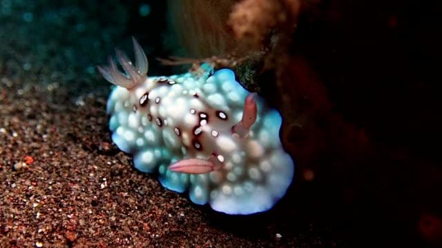vídeos de stock, filmes e b-roll de nudibrânquios é lesma do mar - gastrópode