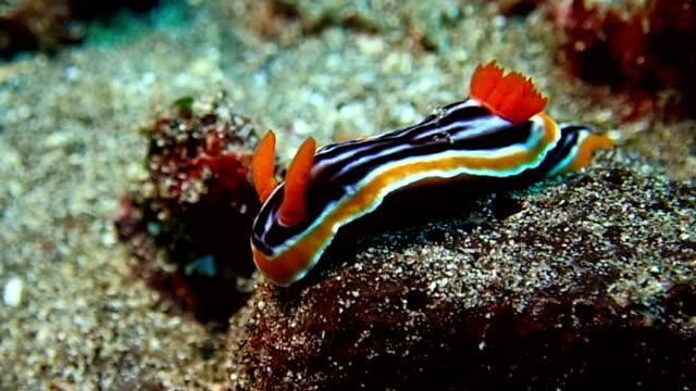 nakensnäckor är sea slug - nakensnäcka bildbanksvideor och videomaterial från bakom kulisserna