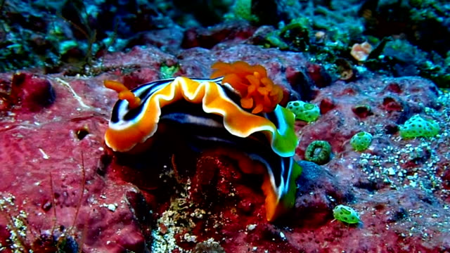 nudibranch is sea slug - nudibranch stock videos & royalty-free footage