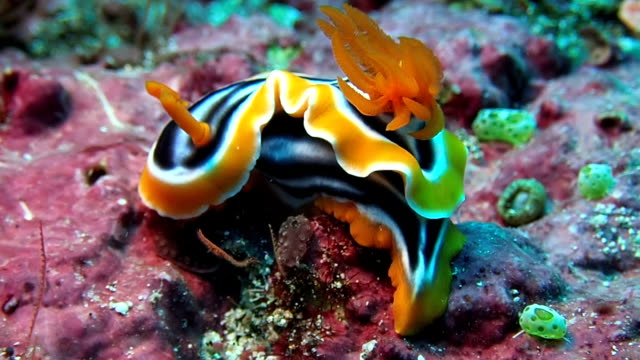 Nudibranch is sea slug