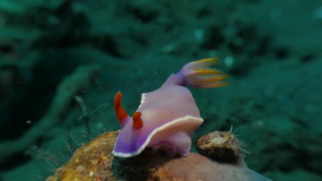 nudibranch laying on rock undersea, bali, indonesia (4k) - nudibranch stock videos & royalty-free footage