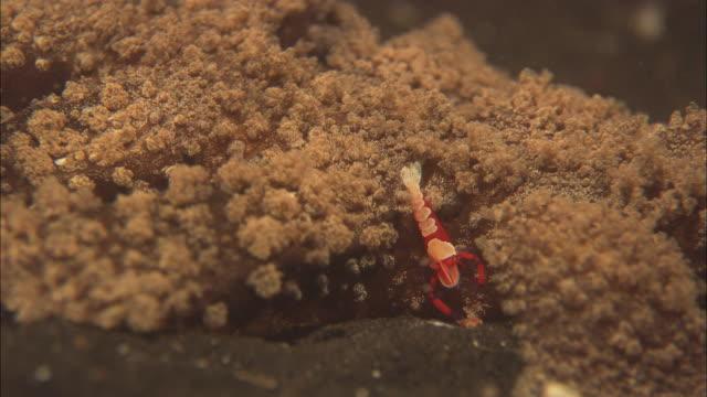 Nudibranch, Malibi Imperial Shrimp, Feeding,  Indonesia