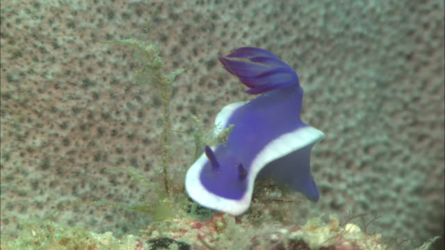 nudibranch, purple with white edge, hypselodoris, head to camera in close up. borneo, malaysia, southeast asia - nudibranch stock videos & royalty-free footage