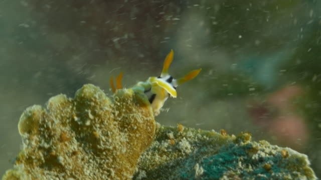 nudibranch, sea slug, tiny sea life - nudibranch stock videos & royalty-free footage
