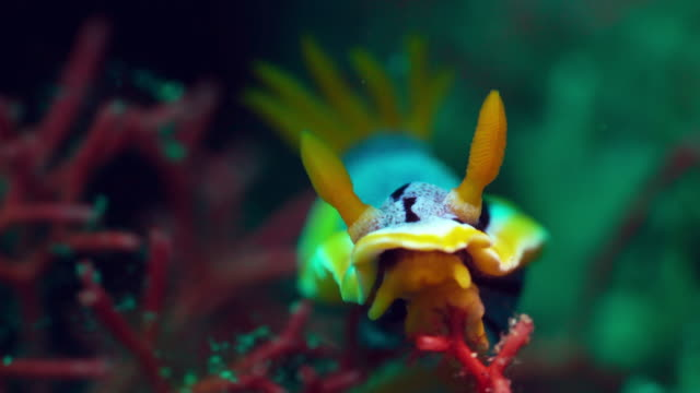 Nudibranch under water in Philippines