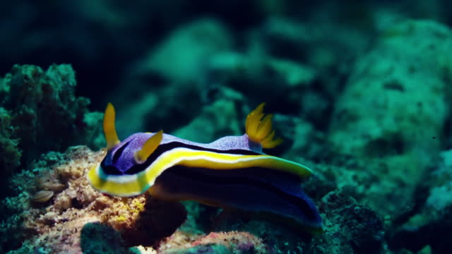 nudibranch under water in philippines - nudibranch stock videos & royalty-free footage