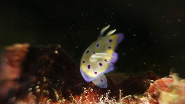 nudibranch - nudibranch stock videos & royalty-free footage