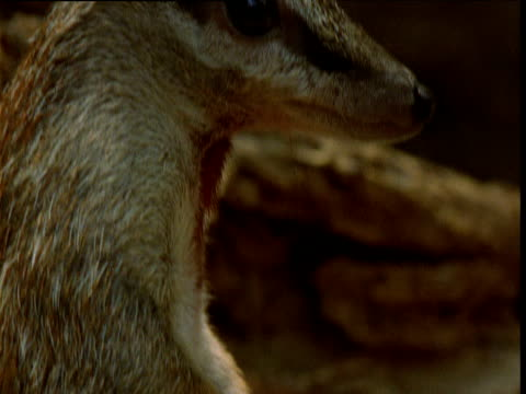 Numbat looks around alertly then ducks down, New South Wales, Australia