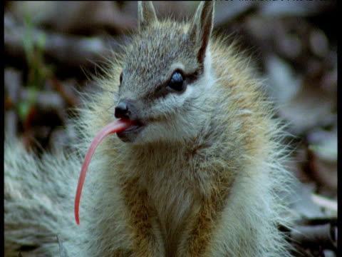 numbat sticks out tongue to coat it with sticky saliva, new south wales - アリクイ点の映像素材/bロール