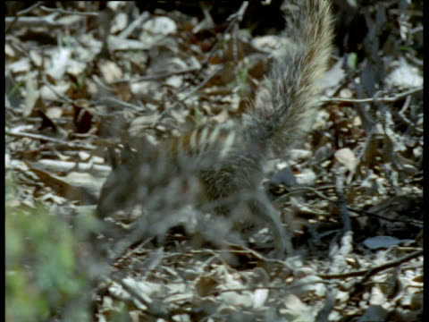 numbat walks around forest, stands on hind legs then walks out of shot, australia - 立つ点の映像素材/bロール