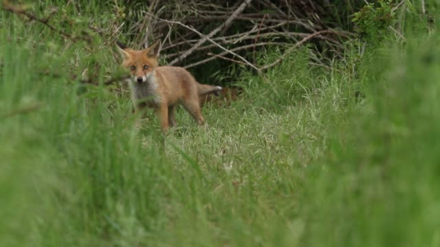 stockvideo's en b-roll-footage met a number of magpies are stealing the food bought in by the female red fox, vulpes vulpes, at the entrance of the foxes den. when a feisty cute cub notices what is happening, it runs out and chases them off and starts to feed. - welp