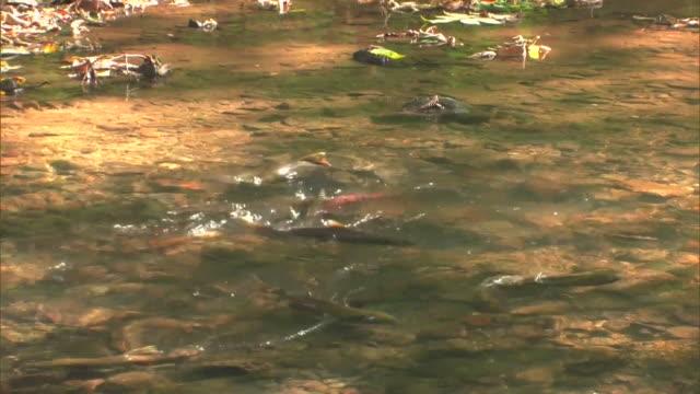 stockvideo's en b-roll-footage met numerous cherry salmon, oncorhynchus masou in the shojin river - rugvin