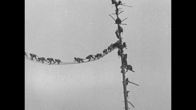 vidéos et rushes de numerous rhesus monkeys climb the branches of a denuded tree; they cross a narrow net / slo-mo monkeys jump over each other while crossing the net /... - branche partie d'une plante