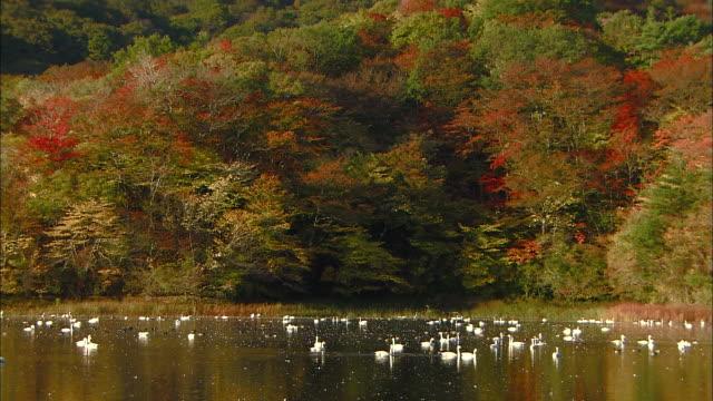 numerous tundra swans (cygnus columbianus) at rest on oyama shimo-ike pond - water bird stock videos & royalty-free footage