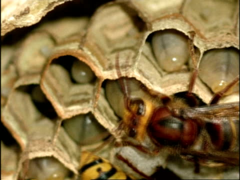 cu nurse hornets (vespa crabro) feed larva, england - larva stock videos & royalty-free footage