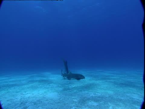 vidéos et rushes de a nurse shark and dolphin scavenge for food underwater. - se nourrir des restes
