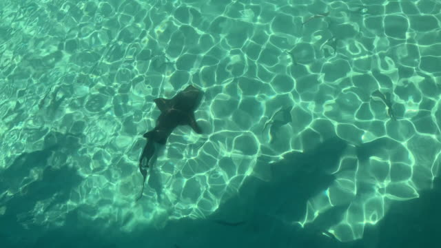 nurse shark and fish swimming in shallow water - seicht stock-videos und b-roll-filmmaterial