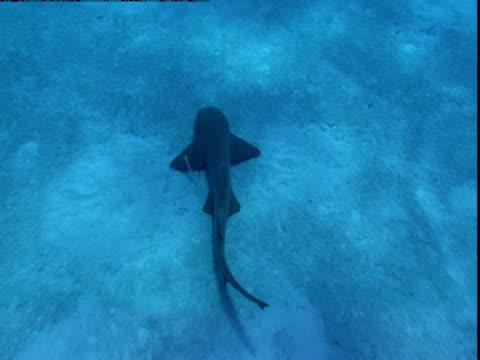 a nurse shark and its attendant remoras glide along a sun-dappled seabed. - symbiotiskt förhållande bildbanksvideor och videomaterial från bakom kulisserna