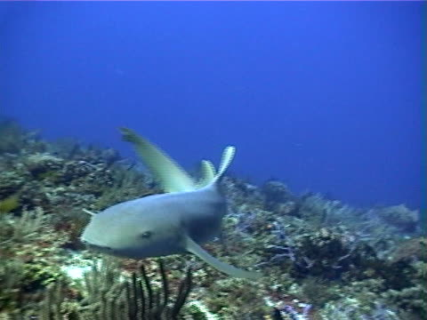nurse shark and tropical fish - cozumel stock videos and b-roll footage