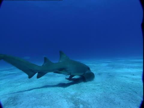 a nurse shark burrows in sand in search of food as remoras stay close by. - symbiotiskt förhållande bildbanksvideor och videomaterial från bakom kulisserna