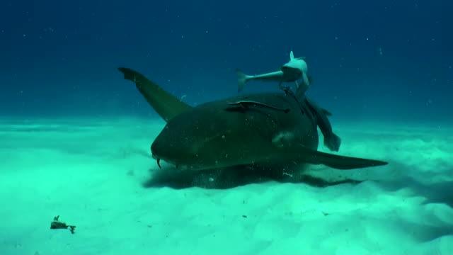 Nurse shark covered in remoras swims along the sandy bottom to the camera, Bimini, Bahamas.