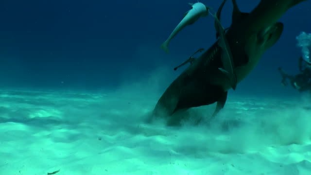 nurse shark digging around in the sand looking for food, bimini, bahamas. - bimini stock videos & royalty-free footage