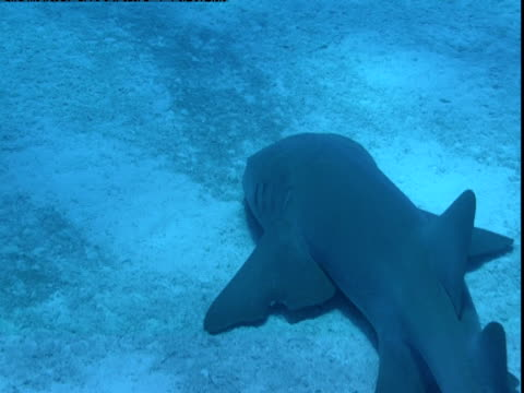 stockvideo's en b-roll-footage met a nurse shark glides along a sunny seabed, - rugvin