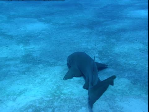 a nurse shark glides along a sunny seabed. - 背びれ点の映像素材/bロール