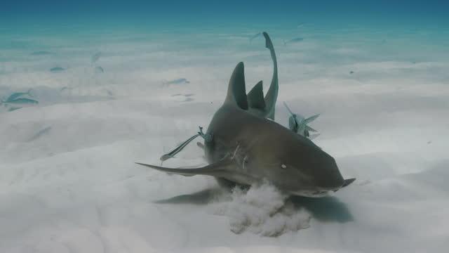 nurse shark in slow motion feeding - sea life stock videos & royalty-free footage
