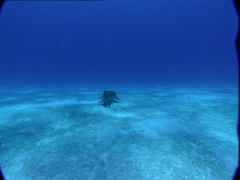 vidéos et rushes de a nurse shark skims the ocean floor in search of food. - se nourrir des restes