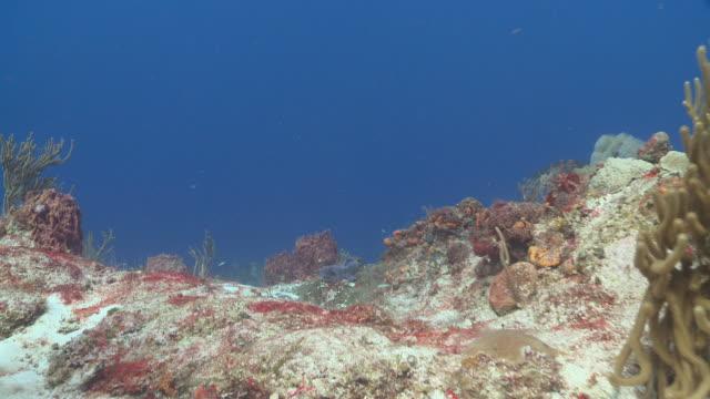 MS POV Nurse Shark swimming / Playa del Carmen, Isla Mujeres, Mexico