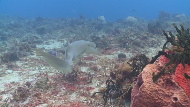 MS TS Nurse Shark swimming / Playa del Carmen, Isla Mujeres, Mexico