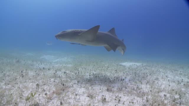 vídeos de stock e filmes b-roll de nurse shark swimming to camera over sandy bottom - erva marinha