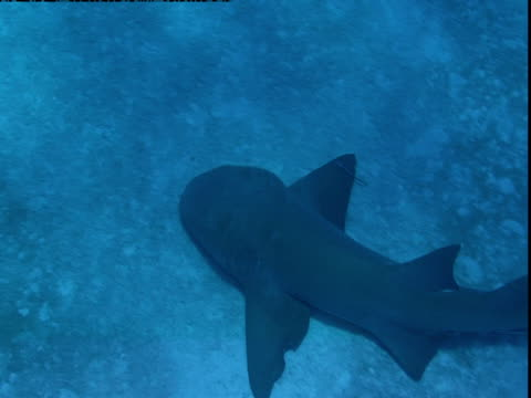 "stockvideo's en b-roll-footage met a nurse shark swims near the ocean floor. - ""bbc natural history"""