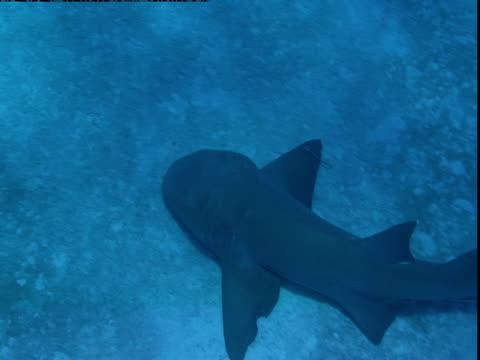 "a nurse shark swims near the ocean floor. - ""bbc natural history"" stock videos & royalty-free footage"
