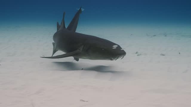 nurse shark - remora fish stock videos & royalty-free footage