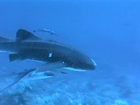 nurse shark w/ remoras in open water, passing above coral. - remora fish stock videos & royalty-free footage