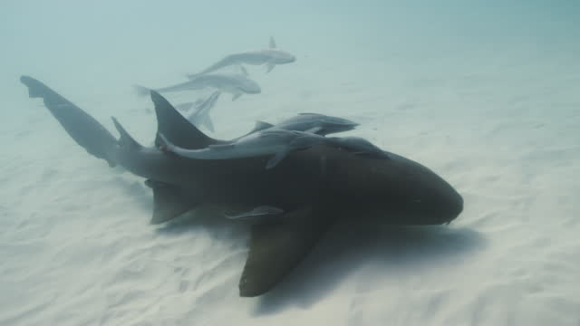 nurse shark with remora - bimini stock videos & royalty-free footage