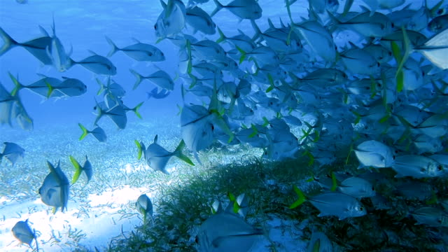 vídeos de stock e filmes b-roll de nurse sharks and school of bigeye trevally jack fish on shark ray alley marine reserve in caribbean sea - belize barrier reef / ambergris caye - cardume de peixes