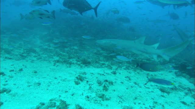 Nurse sharks, Nebrius ferrugineus, and Bull sharks, Trevally, groupers, Yellowfin Surgeon, Acanthurus xanthopterus, Fusiliers, Fiji, South Pacific