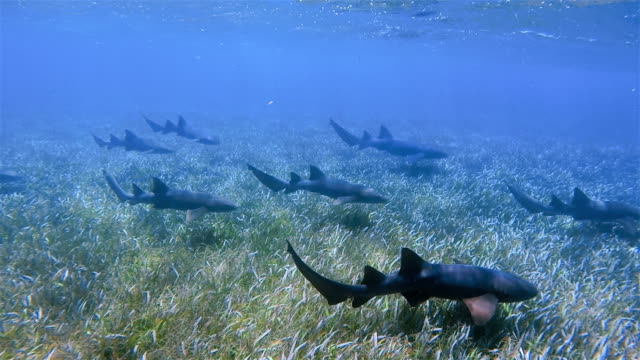 Nurse sharks on Shark Ray Alley Marine Reserve in Caribbean Sea - Belize Barrier Reef / Ambergris Caye