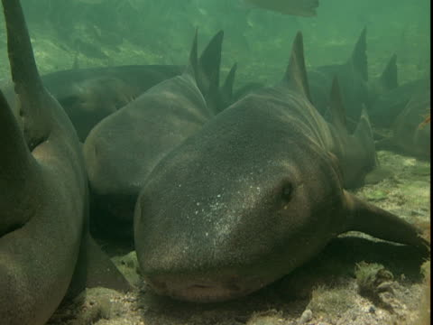 Nurse sharks rest on a sun-dappled seabed,